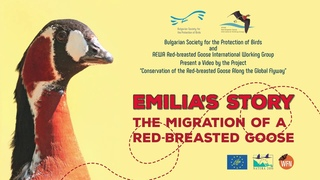 История Эмилии. Миграция краснозобой казарки.