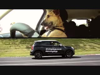 Dogs in auto