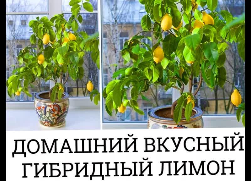 Домашний вкусный гибридный лимон