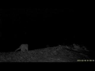 За снежным барсом, нападающим на овец, установлено наблюдение