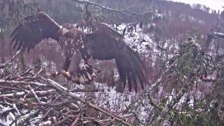 Jūras ērgļis Durbe~A juvenile visit the nest! Is scared off by the cam ~11:12 am 2021/01/27