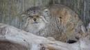 怒るマヌルネコ Pallas`s Cat 20130123