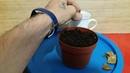 Результат укоренения черенков гортензии The result of rooting hydrangea cuttings