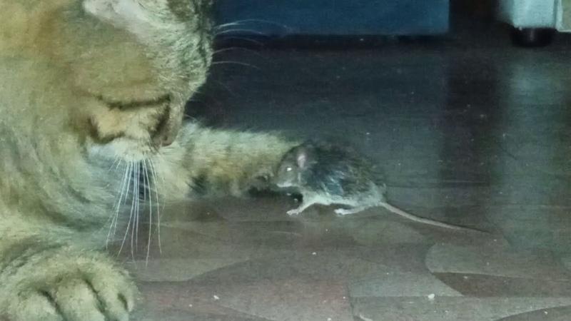Ламповая няшка Косяк и мышка кот поймал мышь