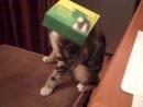 Моя кошка и коробка)) ее зовут Мася)класная кошка!снимал Антон Югов и моя мама
