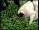 бои собак бульдозер