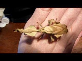 handling a ghost mantis (female phyllocrania paradoxa)