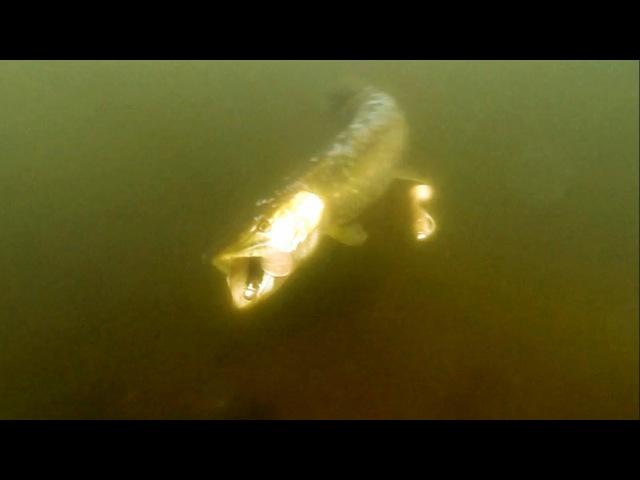 Fishing bright vs dark pike attack Shadteez lure softbait underwater. Рыбалка щука атакует.