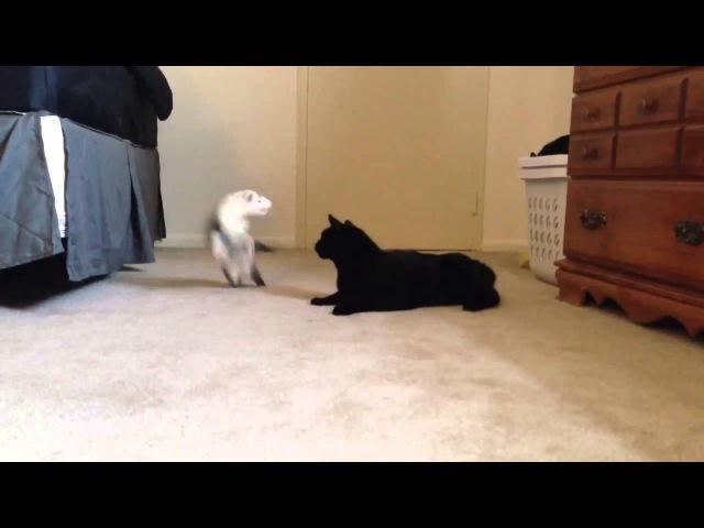Cat Ferret play fighting