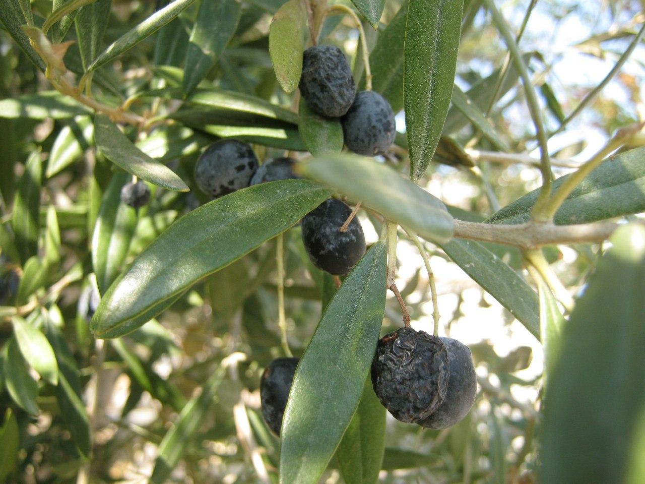 оливковые деревья вокруг западного побережья Турции