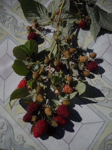 Ника Ежевика Слив