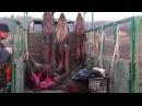 Загонная охота на кабана с лайками