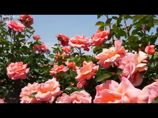 [4k]Yatsu Rose Garden 千葉県・谷津バラ園の満開のバラガーデン 花見頃