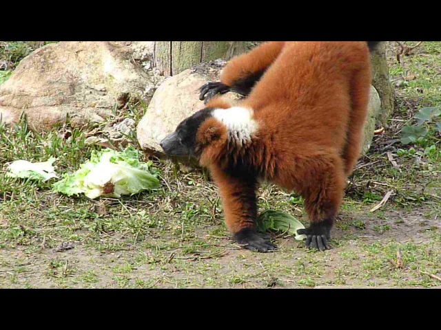 Red ruffed lemur Рыжий вари Varecia rubra
