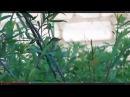 Пение самки красногрудого соловья