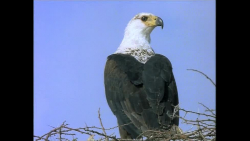 BBC Жизнь птиц The Life of Birds 04 Хищники 1998