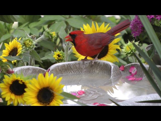 Bird Bath Sun Flowers FYV 1080 HD