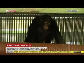 В Красноярске шимпанзе научилась убирать вольер, наблюдая за уборщицей