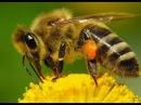 Как живут пчелы