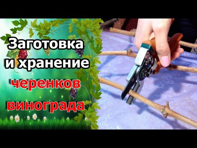 🍇Как заготовить черенки винограда Заготовка лозы для черенков Хранение виноградной лозы