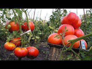 Супер способ - Как увеличить урожай томатов!