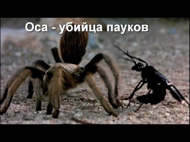 Версус. Оса наездник кошмар для пауков!