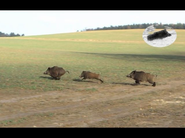Wild boar hunting 2016 compilation Schwarzwild Drückjagd Chasse en battue au sanglier