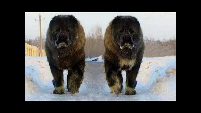 Kafkas Çoban Köpeği Кавказская овчарка Qafqaz coban iti Caucasian Ovcharka