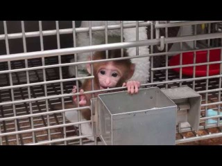 Baby Monkey Experiments Exposed   National Institutes of Health
