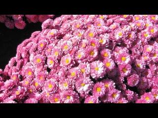 Хризантемы мультифлора – подготовка к зимовке