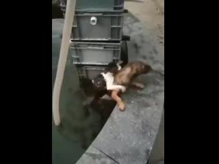 Спасение утопающего кота собакой. Взаимовыручка у животных