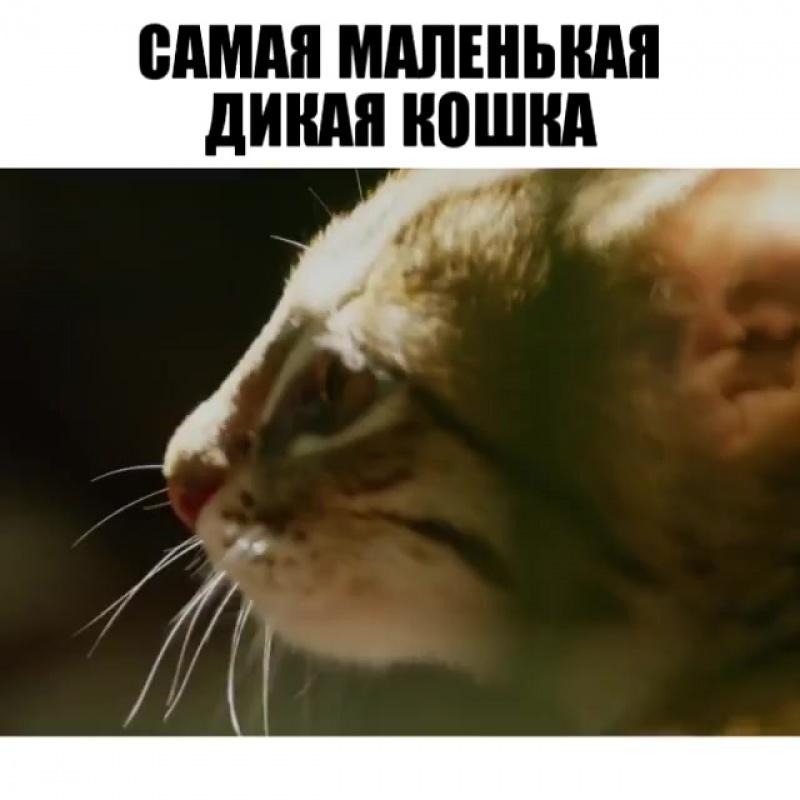 Самая маленькая дикая кошка