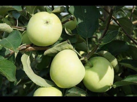 Сорт яблони Белый налив