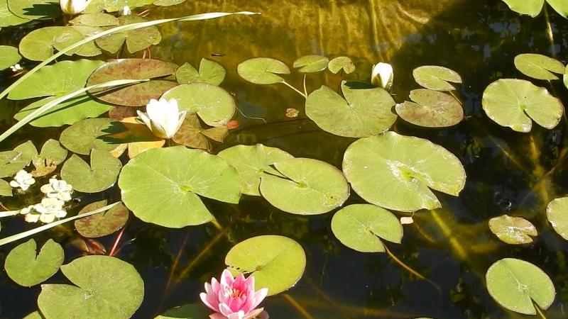 Сказка летнего пруда