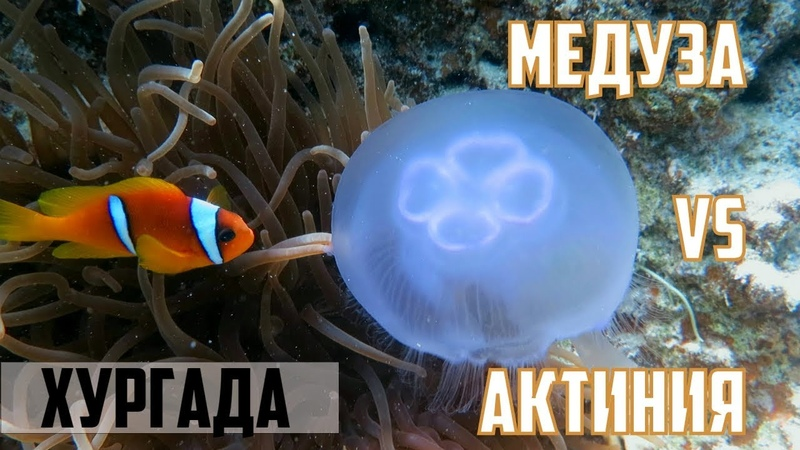 Медуза против актинии - неравная схватка. Дайвинг/ Хургада