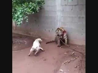 Питбуль против тигра