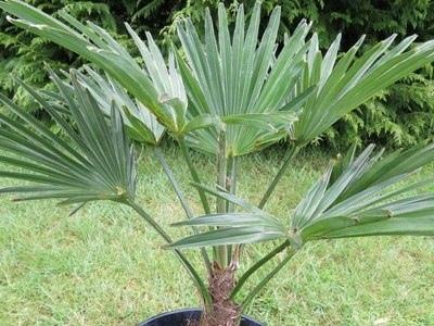 Пальма трахикарпус