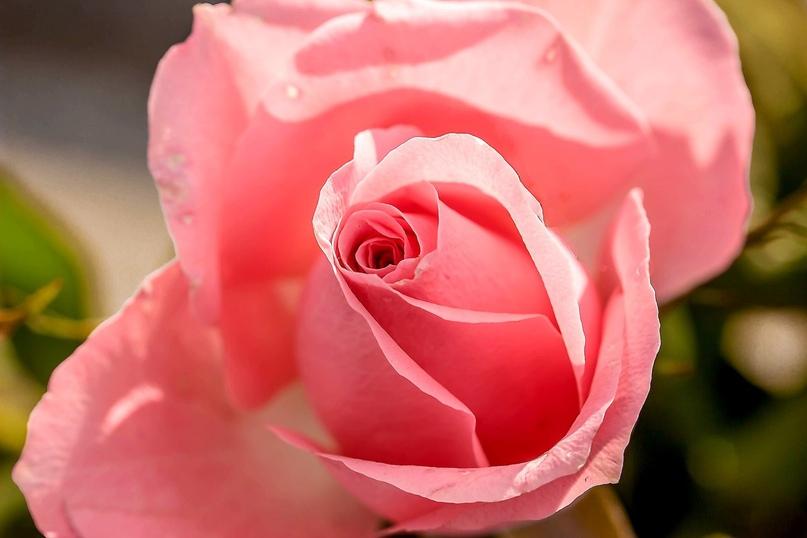 Розы полезны для Благодати, изображение №5