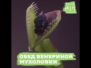 Как питается венерина мухоловка