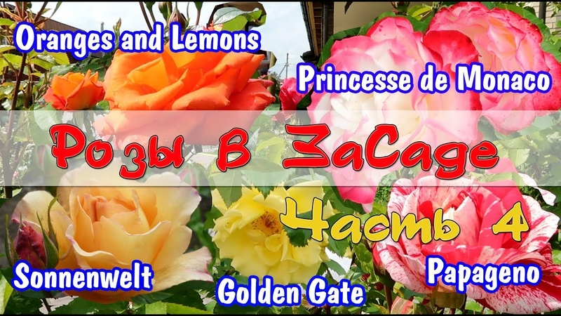 Розы в ЗаСаде Papageno Oranges and Lemons Princess de Monaco Sonnenwelt Golden Gate Часть 4