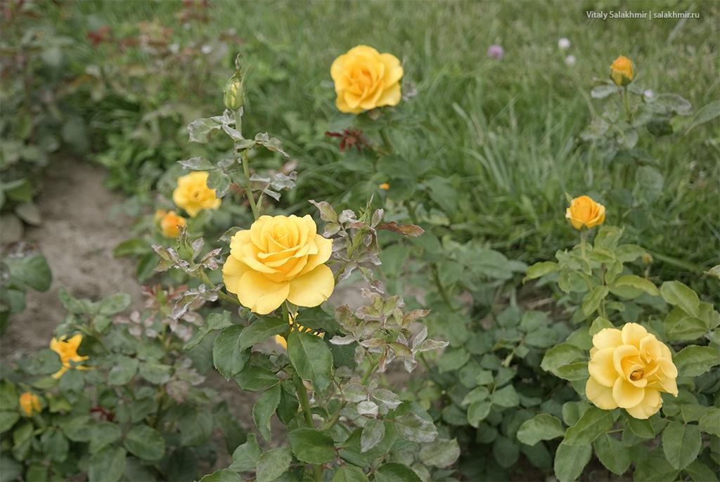 Желтые розы в Парке Первого Президента, Алматы 2019