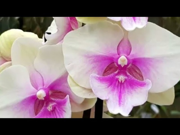 Наращиваю корни супер коктейлем вариегатной орхидее обзор моих орходеревьев