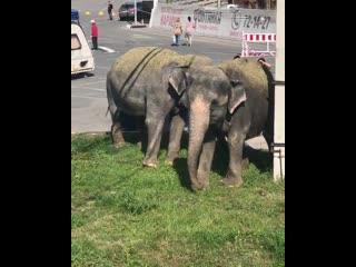 Слоны в Ульяновске.