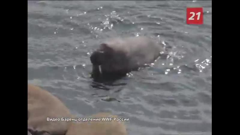 Откуда приплыл морж в Териберку?