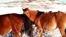 Башкирские лошади жеребец тебеневка