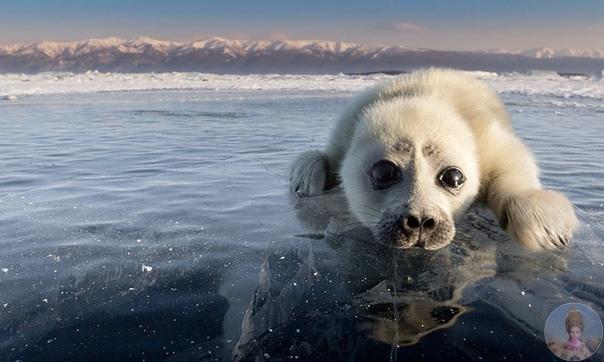 Байкальский тюлень (нерпа) Российский фотограф Алексей Трофимов провёл 3 года в попытке сделать фотосессию с тюленями на льду. Эти милые животные очень застенчивы, боязливы и осторожны, поэтому