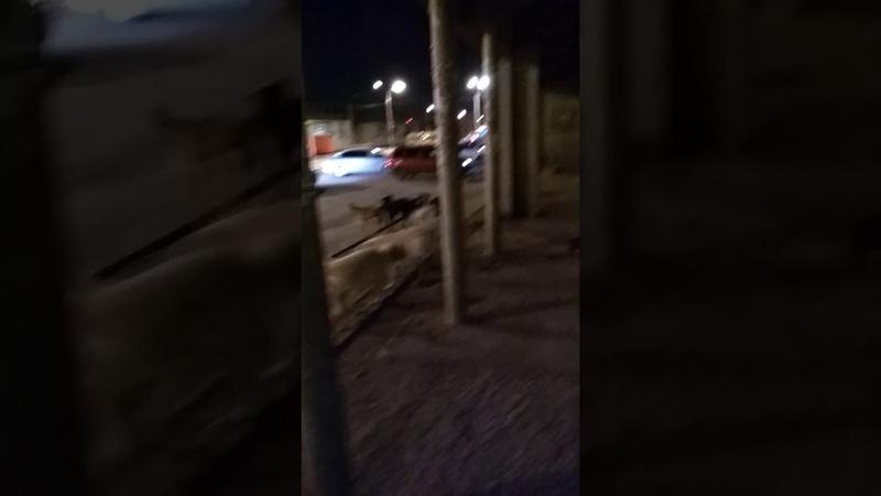 Ужасы Камышина Стая собак бродит по городу Остановка Молодёжная 22 декабря 2019 г