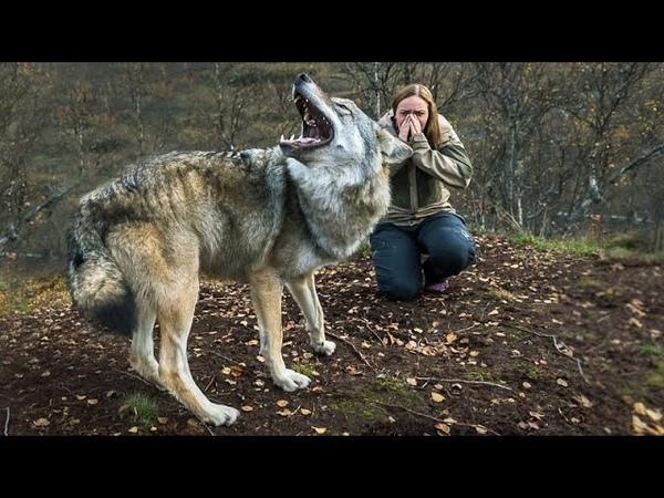 Женщина спасла эту волчицу а через пол года волчица пыталась спасти ее от смерти