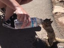 This thirsty squirrel casually reached out for a Grand Canyon visitor's water... · coub, коуб