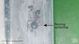 This small jumping spider is nursing her young with milk   Science News